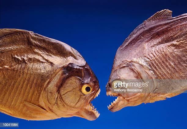 piranha in amazon, brazil - piranha photos et images de collection