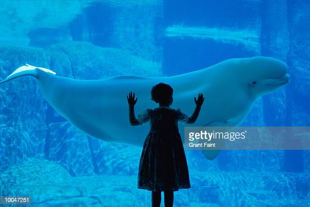 beluga whale and girl at vancouver aquarium - beluga whale stock pictures, royalty-free photos & images