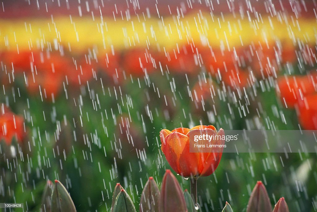 TULIPS IN THE RAIN IN HOLLAND