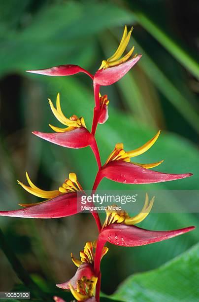 heliconia marginata in punta banco, golfito - marginata stock pictures, royalty-free photos & images