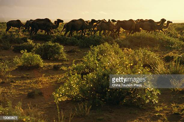 grassland's camels, inner mongolia,, china - herbivorous stock pictures, royalty-free photos & images