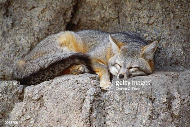 gray fox at the sonoran desert museum in tuscon, arizona - gray fox stock photos and pictures