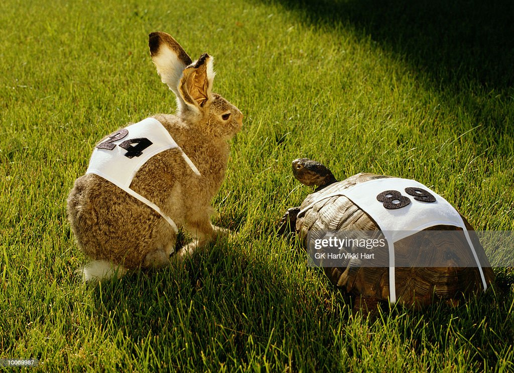 HARE & TORTOISE WITH RACE NUMBERS ON GRASS : Stock Photo