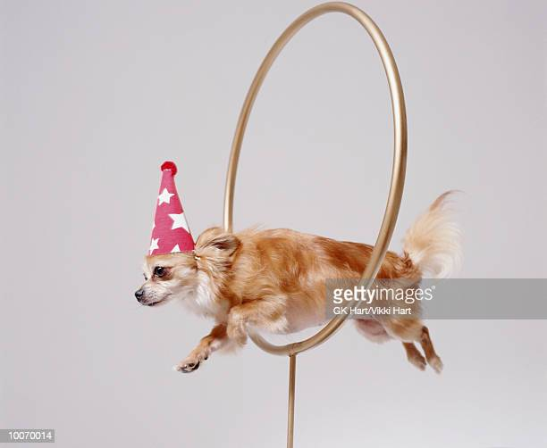 CHIHUAHUA THROUGH HOOP