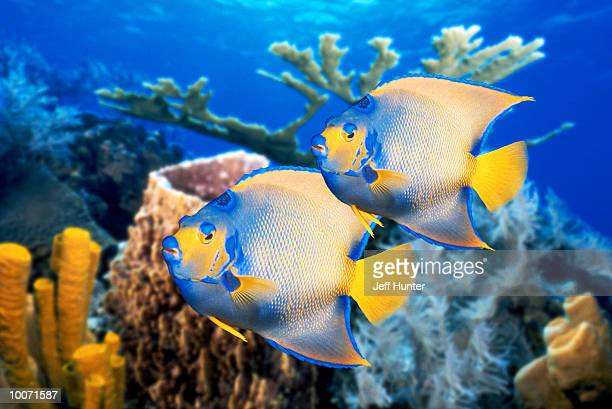 QUEEN ANGELFISH IN THE CARIBBEAN SEA IN BELIZE