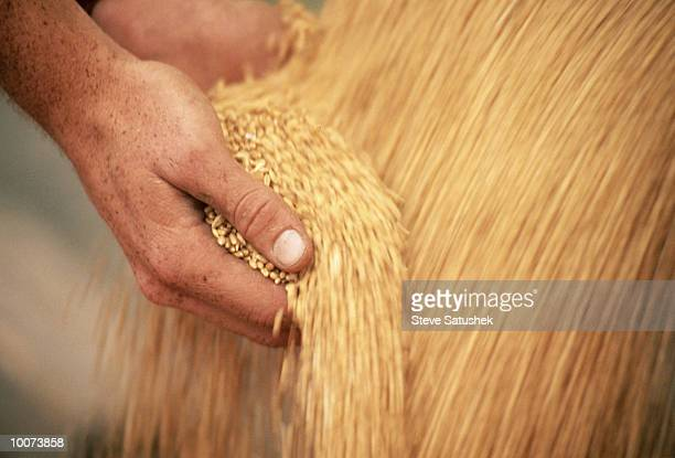 hands with wheat during harvest - wheat stock pictures, royalty-free photos & images