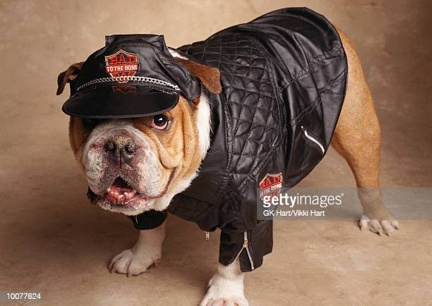 english bulldog for bad to the bone - buldogue - fotografias e filmes do acervo