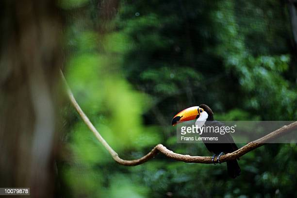 GIANT TOUCAN IN THE AMAZON IN BOLIVIA