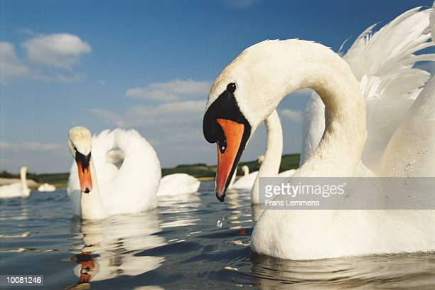 MUTE SWANS AT ABBOTSBURY SWANNERY IN ENGLAND