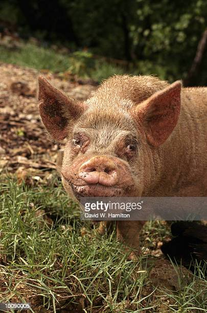 ugly pig in the federated state of micronesia - ugly pig stock pictures, royalty-free photos & images
