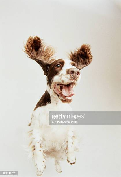 springer - bark stock pictures, royalty-free photos & images