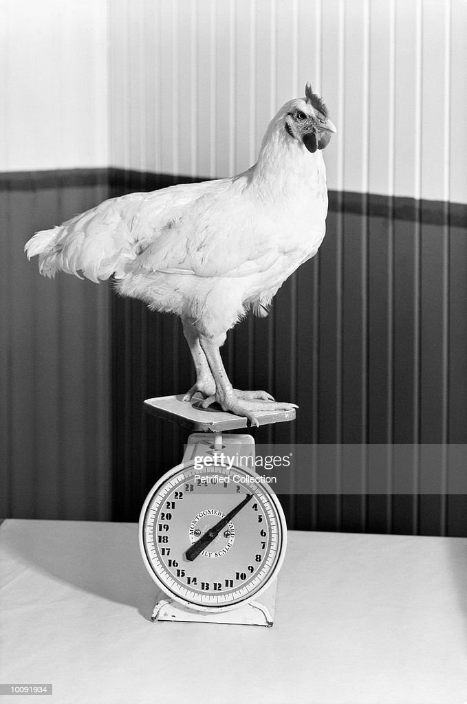 ROOSTER STANDING ON SCALE : Stock Photo