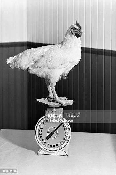 rooster standing on scale - funny rooster stock photos and pictures