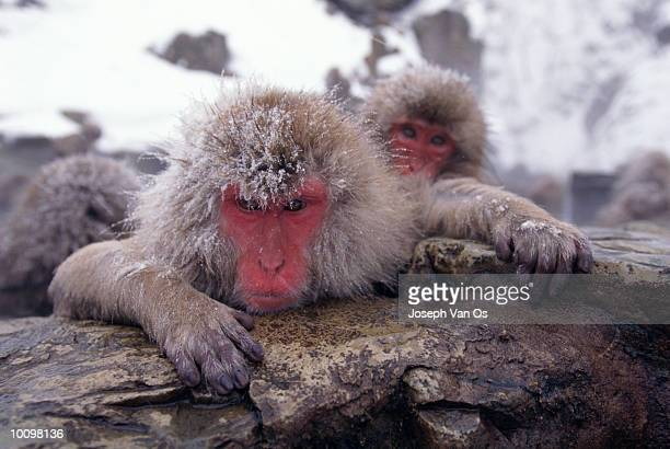 snow monkeys in nagano, japan - vinter os bildbanksfoton och bilder