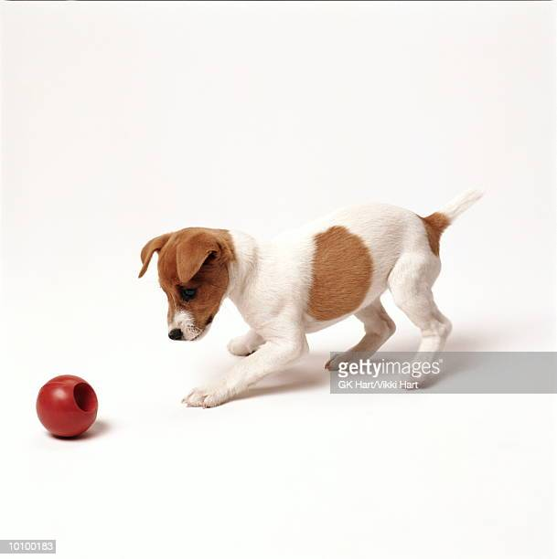 jack russell with red ball - jack russell terrier stock pictures, royalty-free photos & images
