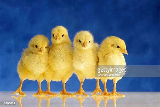 four chicks - baby chicken stock pictures, royalty-free photos & images