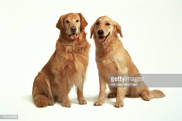 dog couple - golden retriever stock pictures, royalty-free photos & images