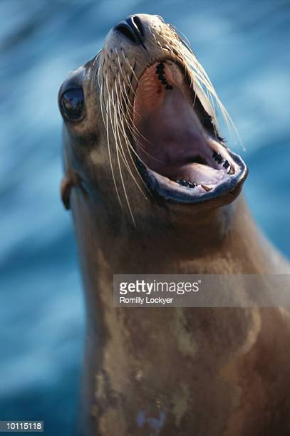 california sea lion - one animal stock pictures, royalty-free photos & images
