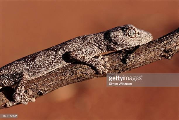 northern spiney-tailed gecko in great sandy desert, western australia - great sandy desert fotografías e imágenes de stock