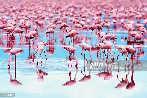 flamingo reflection - colony group of animals stock photos and pictures