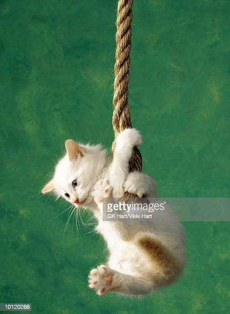 white kitten on rope - hanging stock pictures, royalty-free photos & images