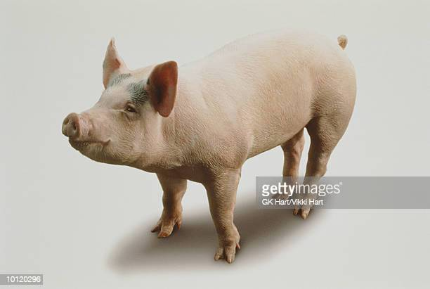 happy pig - pig stock pictures, royalty-free photos & images