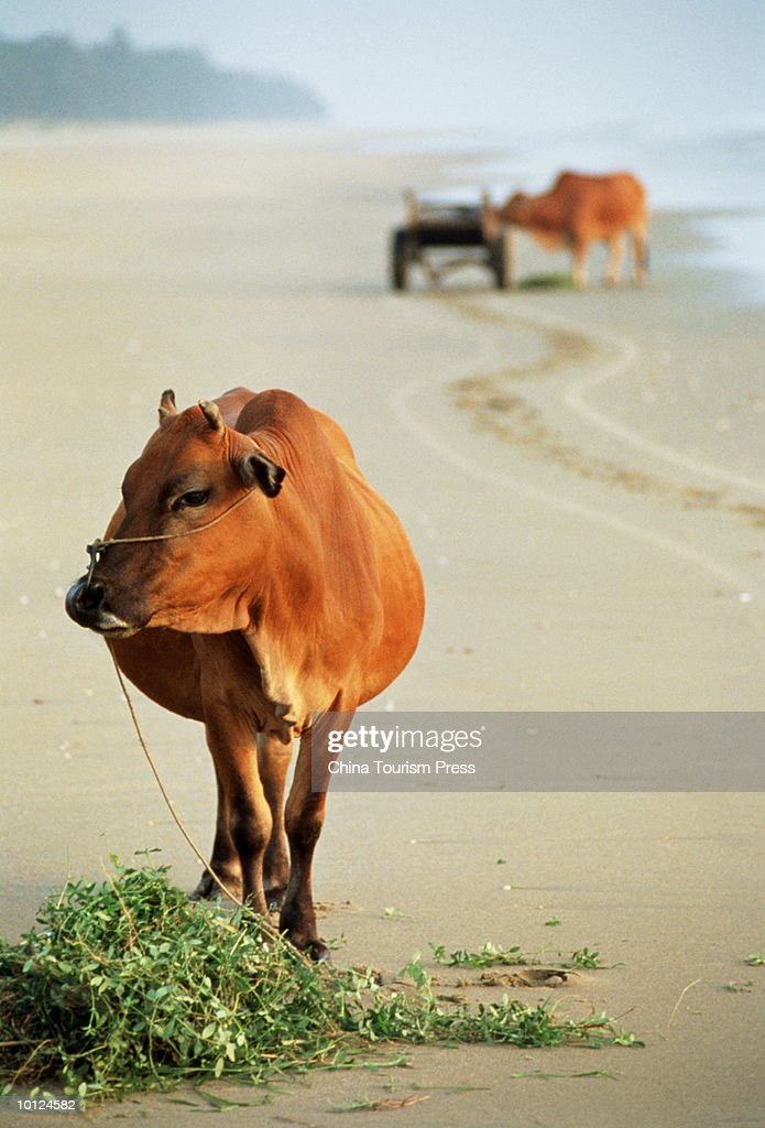 CATTLE ON THE BEACH, ZHANGJIANG : Stock Photo