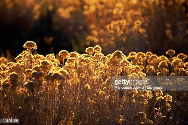 ragweed - ambrosia stock-fotos und bilder