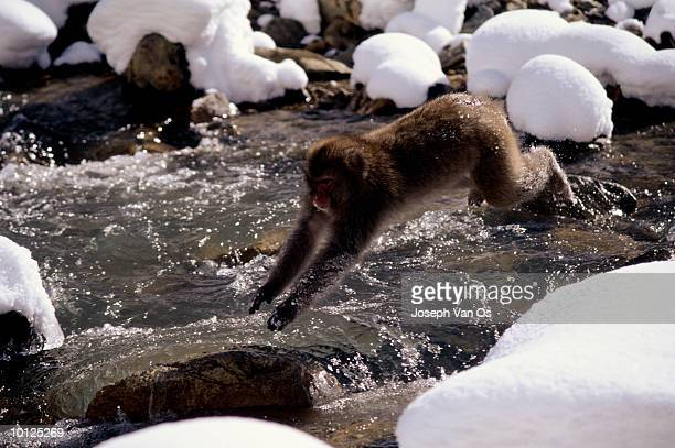 snow monkey jumping creek nagano, japan - vinter os bildbanksfoton och bilder