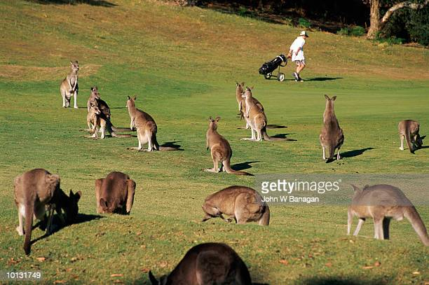KANGAROOS ON GOLF COURSE, VICTORIA, AUSTRALIA