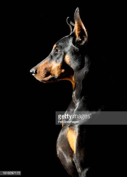 a doberman pincher profile in sunlight - doberman foto e immagini stock