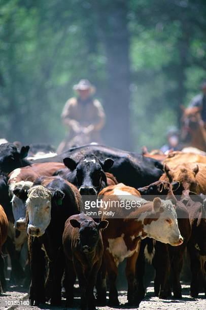 cattle drive in montana - ranch stock pictures, royalty-free photos & images