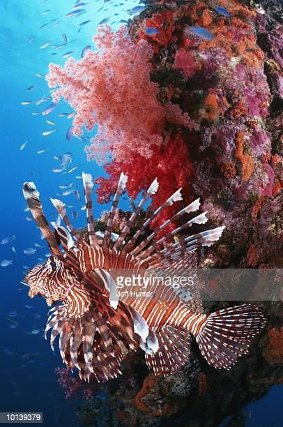 lionfish, truk lagoon, micronesia - lagon chuuk photos et images de collection