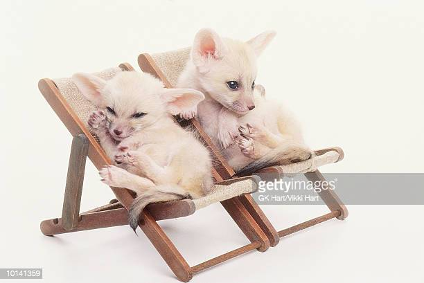 two fennec foxes in chairs - fennec fox stock photos and pictures