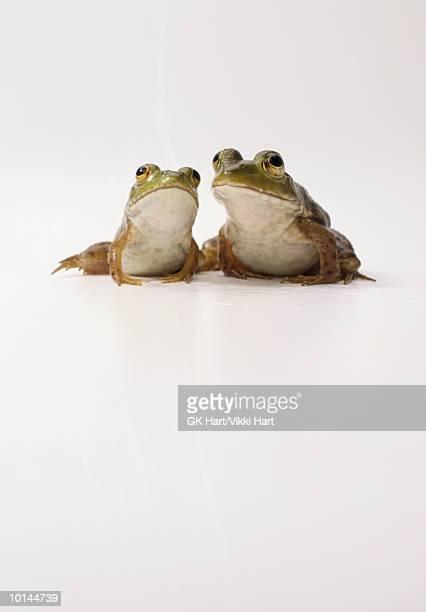 bull frogs - grenouille photos et images de collection