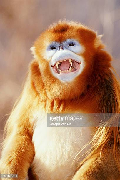 snub nosed golden male monkey, china - ugly monkey stock photos and pictures