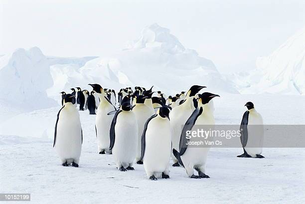EMPEROR PENGUINS AND ICEBERGS, WEDDELL SEA