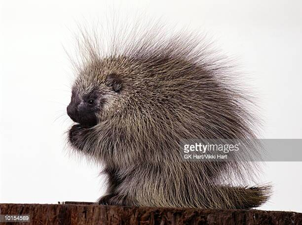 porcupine on white, profile - porcupine stock photos and pictures