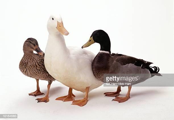 three ducks - germano reale foto e immagini stock
