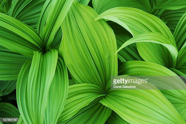 false hellebore or skunk cabbage - {{asset.href}} stock pictures, royalty-free photos & images