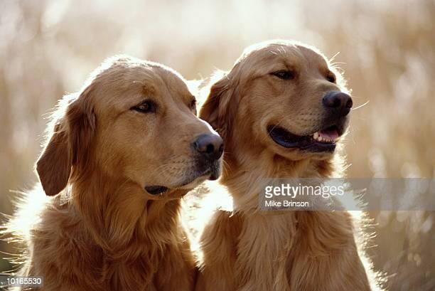 golden retriever dogs - golden retriever fotografías e imágenes de stock