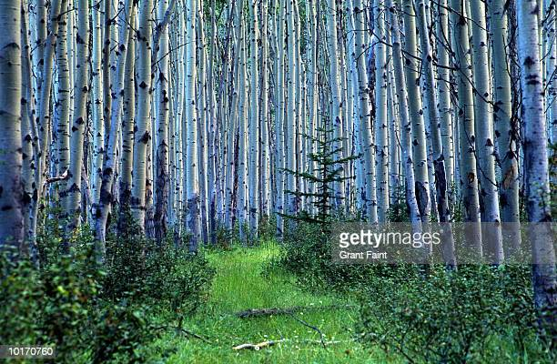 BIRCH FOREST, JASPER NATIONAL PARK, CANADA