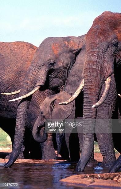 herd of elephants, kenya, africa - safari animals stock pictures, royalty-free photos & images