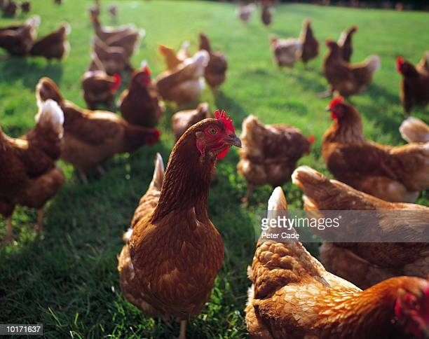 free range chickens - large group of animals stock pictures, royalty-free photos & images