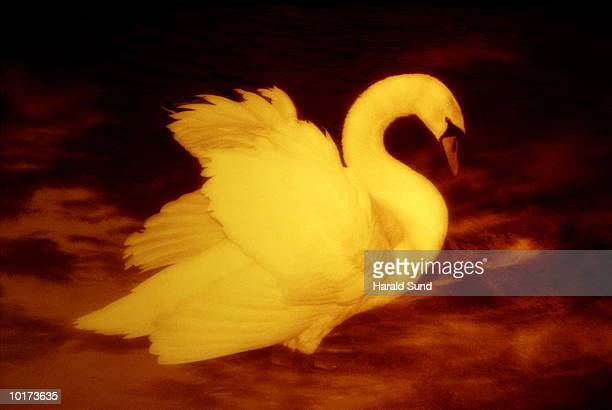 swan unfolding wings - vertebrate stock pictures, royalty-free photos & images