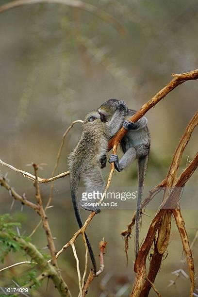 baby green vervet monkeys playing, serengeti national park, tanzania - vertebrate stock pictures, royalty-free photos & images
