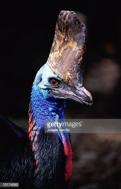 cassowary bird, australia - vertebrate stock pictures, royalty-free photos & images