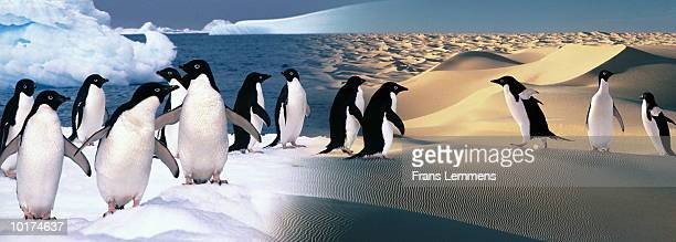 ADELIE PENGUINS IN ANTARCTIC AND SAHARA