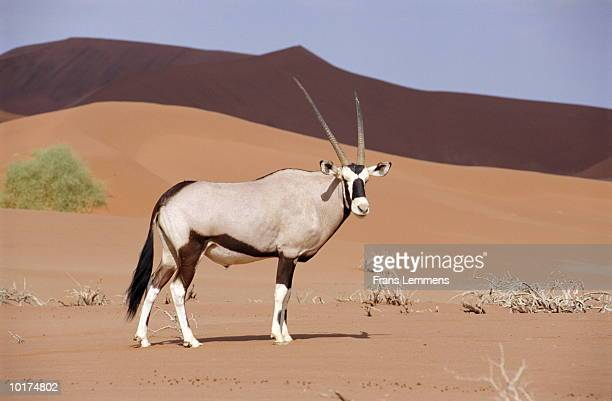 oryx (oryx beisa), sossusvlei, namibia - vertebrate stock pictures, royalty-free photos & images