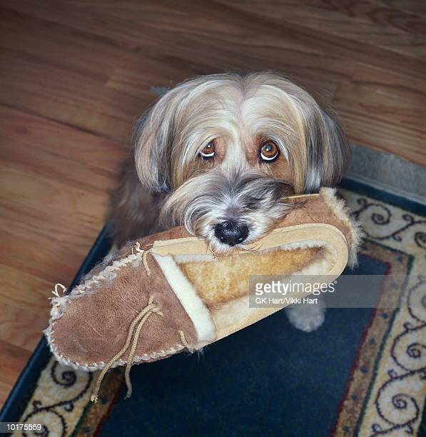 tibetian terrier with slipper in mouth - loyalty stock pictures, royalty-free photos & images
